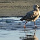 Glaucous Gull (immature)