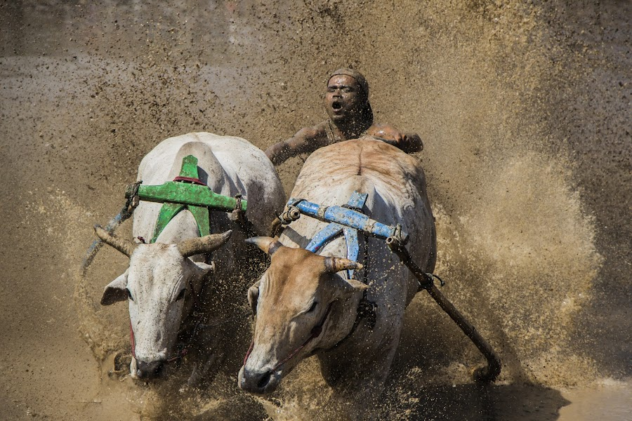 pacu jawi (cow race) by Teddy Winanda - Sports & Fitness Rodeo/Bull Riding ( indonesia, traditional sport, cow race, pacu jawi, west sumatera )