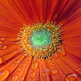 Raindrops by Karen Noble - Flowers Single Flower (  )