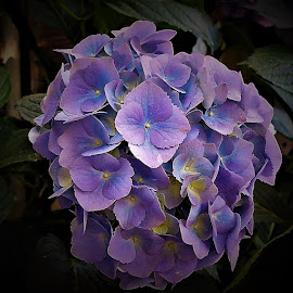 Purple hydrangea by Mary Gallo - Flowers Single Flower ( single flower, natue, nature up close, hydrangea, purple hydrangea, purple flower,  )