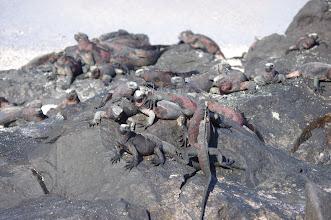 Photo: Marine Iguanas piling on