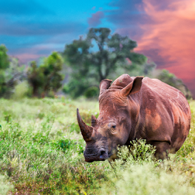 Rhino Sunset by Mauritz Janeke - Animals Other Mammals ( wild, rhinosourus, sunset, mauritz, wildlife, rhino,  )