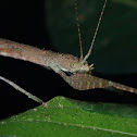 Stick Insect/Phasmid