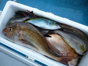 Photo: 何とか、朝方に喰いだして・・・。 終了です。 クマガイさんのクーラーBOX。良型の真鯛、イサキはほとんどいいサイズでした。今回は、クーラー満タン釣れました!
