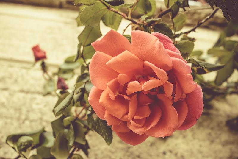 Pink Rose di mirko_mancini