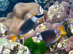 Photo: a pair of foxface rabbitfish