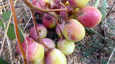 Photo: Fruit for the strange Deciduous tree