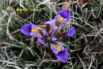 Photo: ΙΡΙΔΑ Η ΚΡΗΤΙΚΗ Iris cretensis ΔΑΣΟΣ ΚΡΟΥΣΤΑ