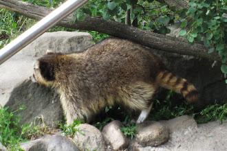 Foto: Till skillnad mot denna tvättbjörn som för övrigt inte var så road av att fotas...