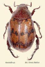 Photo: Anomala sp. (6), 11 mm, Costa Rica, Esquinas Rainforest (08°42´/-83°12´), leg. Erwin Holzer, det. Angel Solis