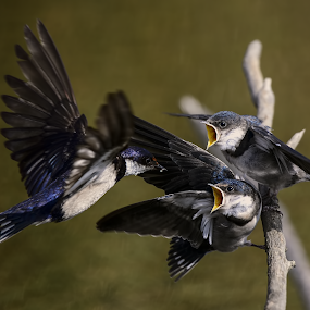Breakfast Time by Richard Wicht - Animals Birds ( babies, nature, south africa, feeding, wildlife, swallow, birds, bird photography,  )