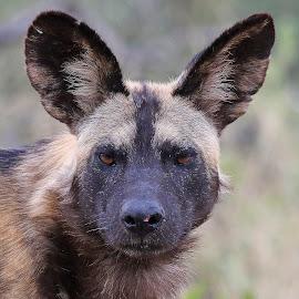 Painted Dog! by Anthony Goldman - Animals Other Mammals ( africa, mammal, portrait, wild, dog, wildlife,  )