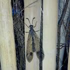 Antlion Lacewing