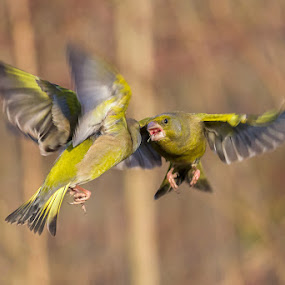 Fighting by Roberto Melotti - Animals Birds ( greenfinch, flying, flight, roberto melotti, fight, nikon d810, fighting, chloris chloris, greenfinches, verdoni )