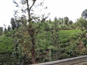 Photo: Tea plantation near Chogoria