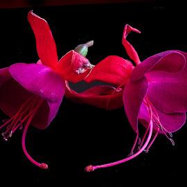 Fuchsias. by Simon Page - Flowers Flower Arangements