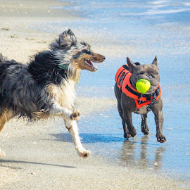 lemme see by Meaghan Browning - Animals - Dogs Playing ( frenchie, french bulldog, beach, australian shepherd, running )