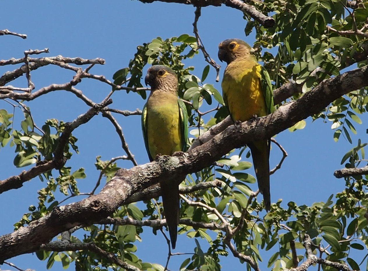 E:ARTICULOS PERIODISMO ECOLOGISTAARTICULO SAROCHE LISTOAves del Semiarido LarenseNo Passeriformes (24 familias)16. Psittacidae (2 especies)are.jpg