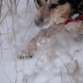Snow day by Vicki Switala Riley - Animals - Dogs Running ( first snow, motion, paw, black, winter, shepsky, cold, brown, freezing motion, red, field, outdoors, white, snow, pound dog, dog, rescue, landscape, playing in snow )