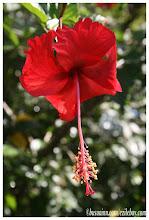 Photo: Fleurs d'Ibiscus, jardin du Busua Inn, Busua