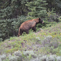 Grizzly/North American brown bear
