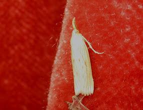 Photo: Ematheudes punctella     Lepidoptera > Pyralidae