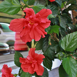 Hibiscus Tree Flowers by Terry Linton - Flowers Tree Blossoms (  )