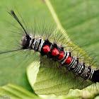 Tussock Moth Larva