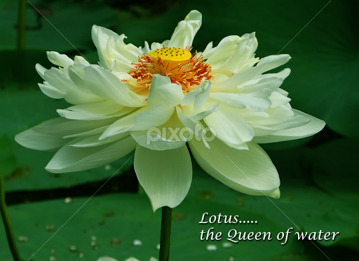 water lily quotes