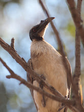 Photo: Noisy Friarbird
