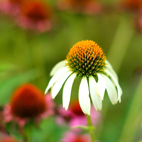 White Coneflower by Virginia Folkman - Nature Up Close Flowers - 2011-2013 ( coneflower, flowers )