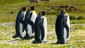 Falkland Islands: Penguin Paradise thumbnail