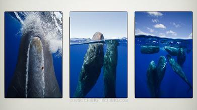 Photo: Splits of sperm whales