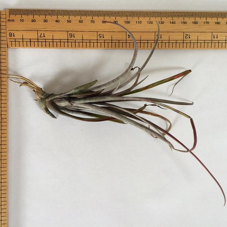 Air Plant - Tillandsia capitata v. Domingensis