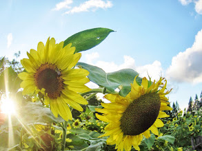 Photo: Fisheye lens photo of sunflowers and sunlight at Cox Arboretum and Gardens of Five Rivers Metroparks in Dayton, Ohio.