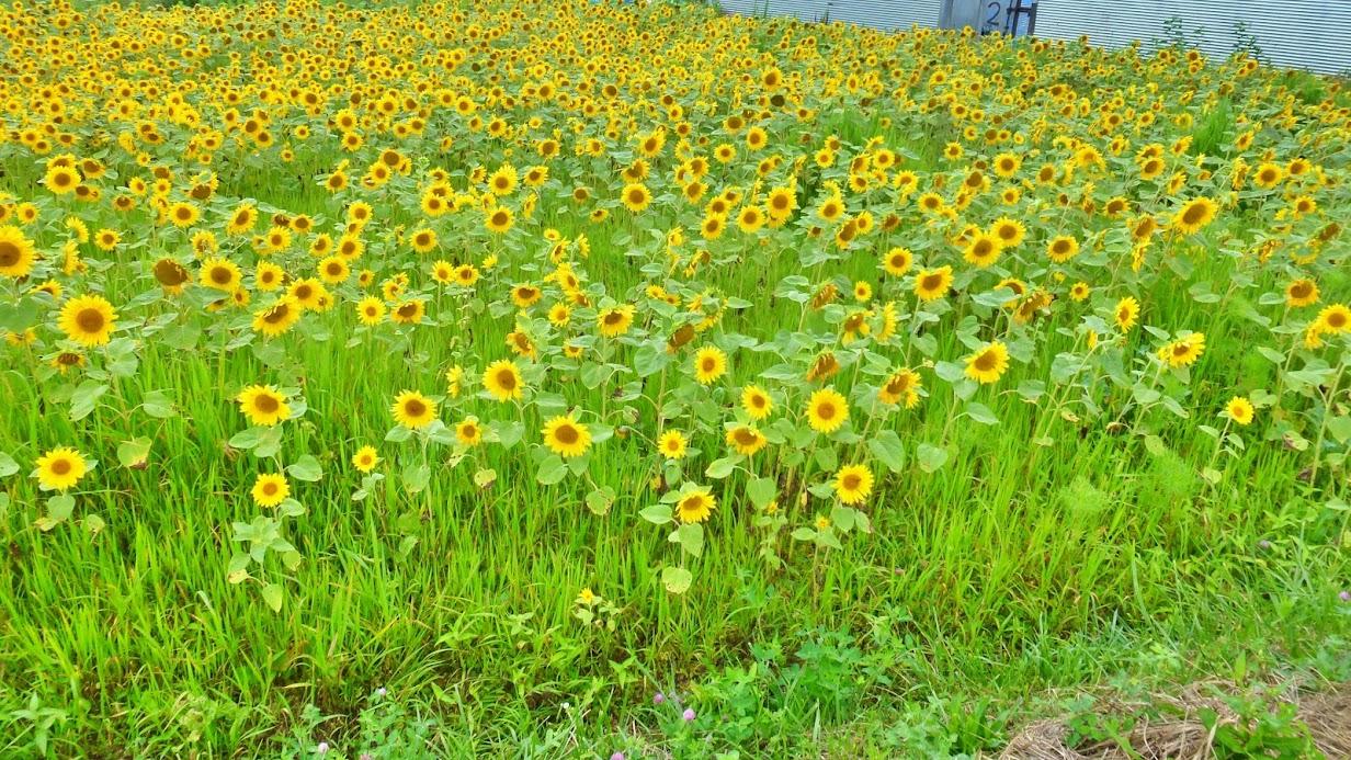 歌津泊浜のひまわり畑 写真12