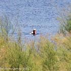 Red-crested Pochard; Pato Colorado
