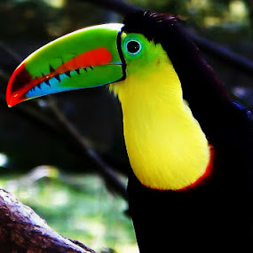 Toucan by Ivan Cohene - Animals Birds ( #imagesbyivancohene, #frutloopsbird, #tropicalbird, #toucan, #perched,  )