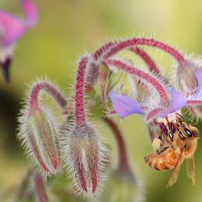 Borage Pollen by Greg Van Dugteren - Nature Up Close Flowers - 2011-2013