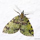 Lichen colored Moth