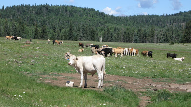 Photo: 12,000 Mexican yearligns do well on high country forage - season gains of 280-320 pounds. Cowboys herd them to regulate grazing pressures.
