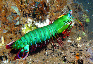 Photo: Mantis shrimp is another animals that can see colors we can't. Even though we can differentiate better between colors. They even use fluorescent to send out signals. Some mantis shrimp species are monogamous and live together for 20 years at a time. Peacock mantis shrimp have the fastest punch observed. The punch is so fast that the water starts boiling around it. They can easily break aquarium glass. And they are an internet celebrity.   Species such as Argiope argentata employ prominent patterns in the middle of their webs, such as zigzags. These may reflect ultraviolet light, and mimic the pattern seen in many flowers known as nectar guides. Spiders change their web day to day, which can be explained by bee's ability to remember web patterns. Bees are able to associate a certain pattern with a spatial location, meaning the spider must spin a new pattern regularly or suffer diminishing prey capture.   People: We see the world in a different way than does the mantis shrimp. We see some things that is cannot see and it sees things that we cannot see but can only observe with our technology.