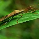Rice seed bug