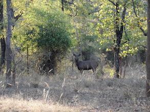 Photo: Sambar stag