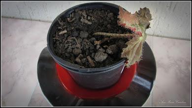 Photo: Begonia Rex -  De pe Calea Victoriei, B15, ap.8 - 2017.02.17