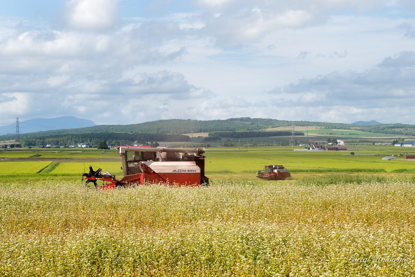 白から茶色に変化する蕎麦畑