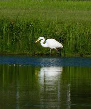 Photo: Great Egret