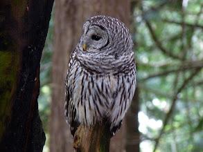 Photo: Barred Owl