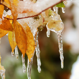 Frozen in Time by Janet Herman - Nature Up Close Leaves & Grasses ( winter, cold, icicles, nature up close, leaves, frozen )