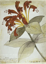 Photo: Watercolour painting of a Aeschynanthus flower from Sarawak by Wallace in 1855. First published: Raby (2001). Scanned with permission from the Wallace family. Copyright of scan: A. R. Wallace Memorial Fund.